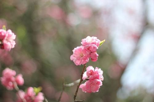 201705 琴似神社桜 (2)_R