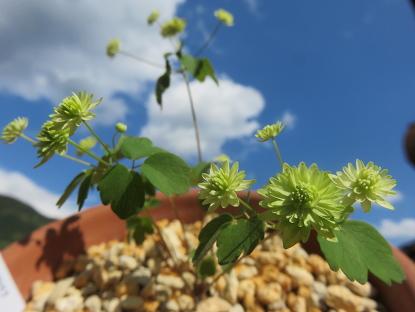 緑花バイカカラマツ