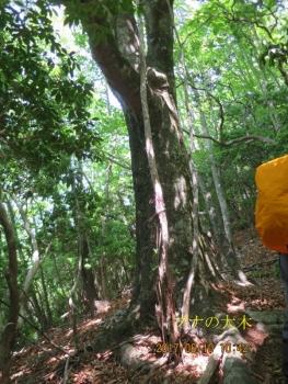 大きいブナの木(1250m地点)