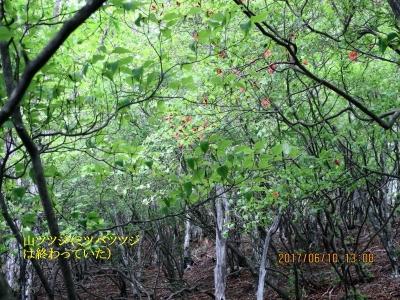 ツツジの木(千本ツツジと言うだけあってツツジの木が多い。花は終わっていた)