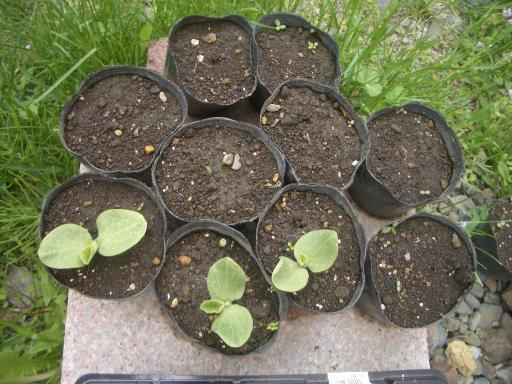 カボチャのポット栽培