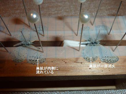 ヤマトシジミ異常型2つ