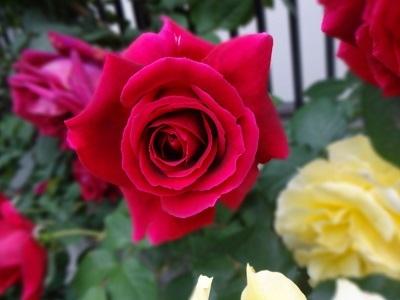 rose8
