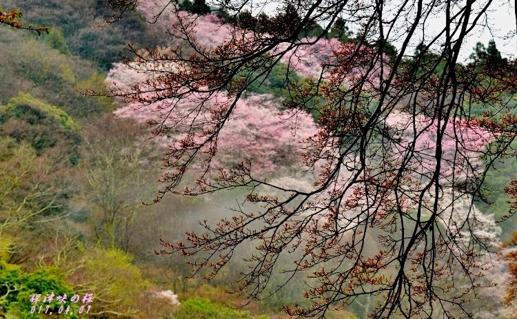 保津峡の桜