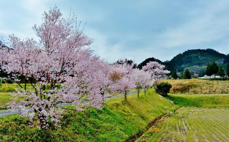 又兵衛桜、法起寺N 009 (750x465)