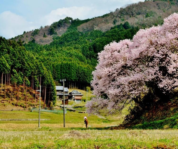 又兵衛桜、法起寺N 011 - コピー (750x629)