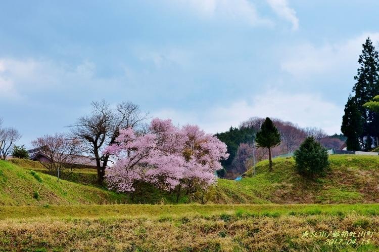 又兵衛桜、法起寺N 013 (750x498)