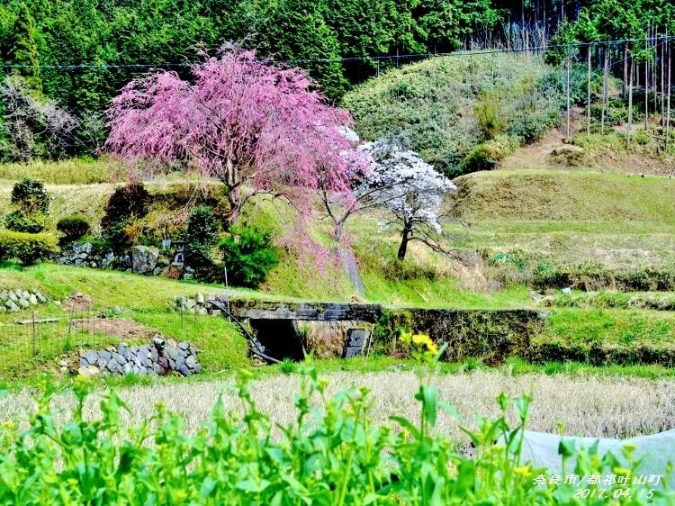 又兵衛桜、法起寺N 018 (750x562) (2) (750x562)