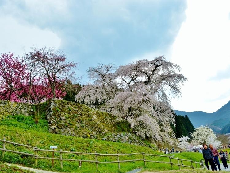又兵衛桜、法起寺N 022 (750x563)