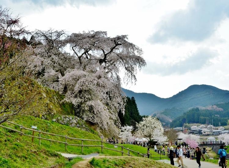 又兵衛桜、法起寺N 025 (750x552)