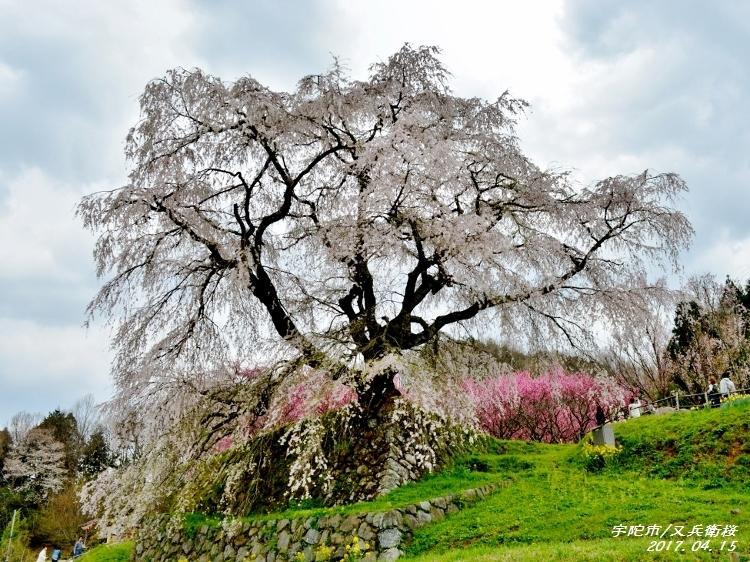 又兵衛桜、法起寺N 020 (750x562)