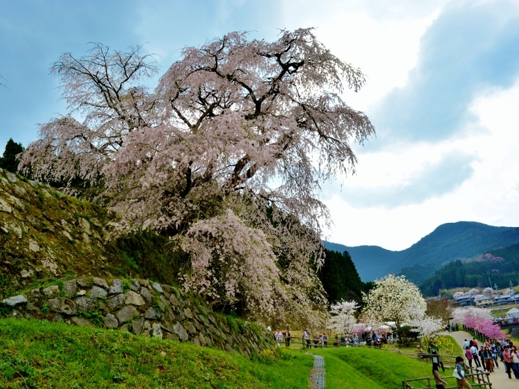 又兵衛桜、法起寺N 026 (750x562)