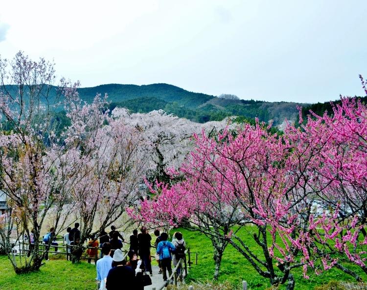 又兵衛桜、法起寺N 042 (750x592) (2)
