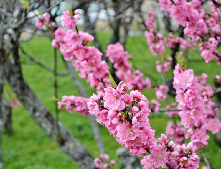 又兵衛桜、法起寺N 043 (750x573)