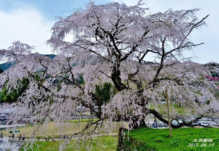 又兵衛桜、法起寺N 045 (750x517)