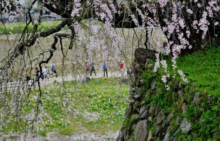 又兵衛桜、法起寺N 047 (750x481)