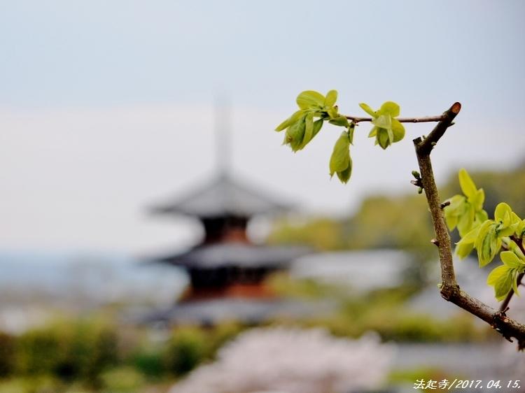 又兵衛桜、法起寺N 079 (750x562)