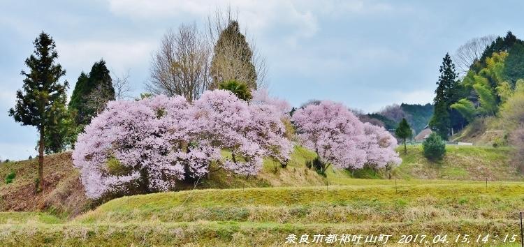 又兵衛桜、法起寺N 006 (750x354)