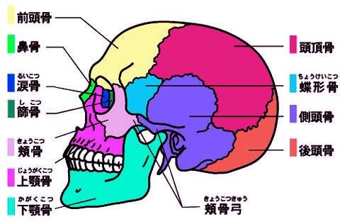 頭蓋骨名称