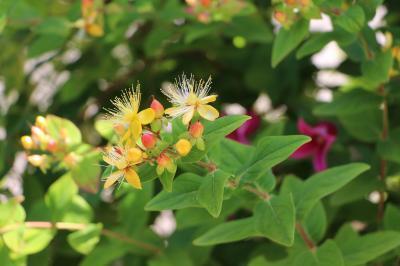 170603ヒペリカム花