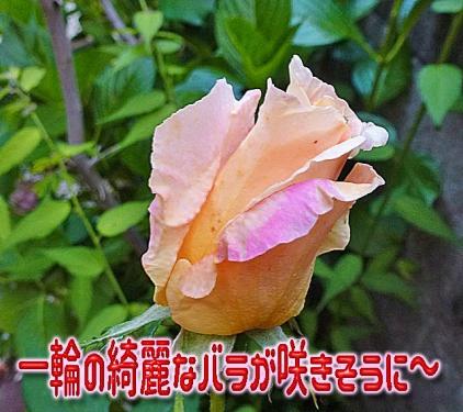 綺麗なバラ2