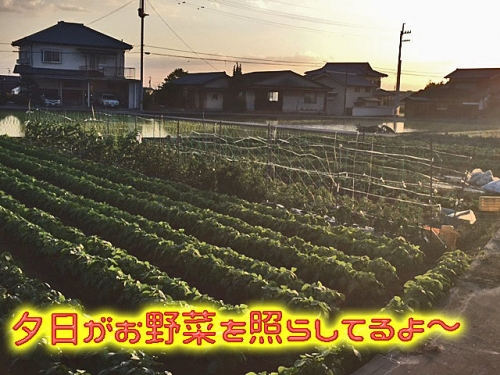 夕日がお野菜を