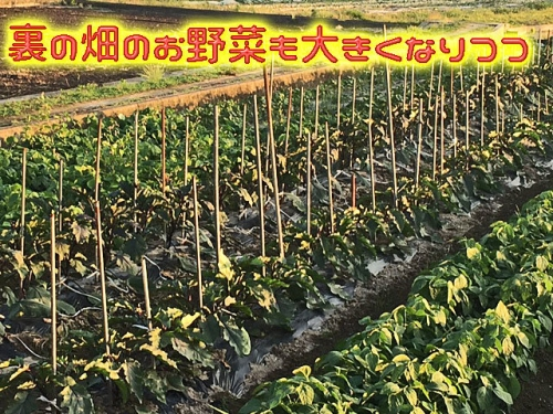 裏の畑のお野菜