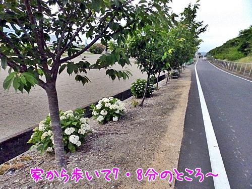 桜と紫陽花