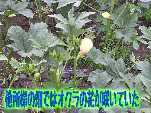 オクラの花が咲いている