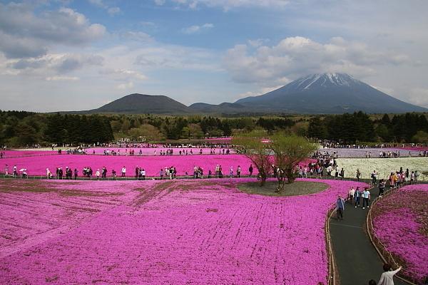 17富士芝桜1
