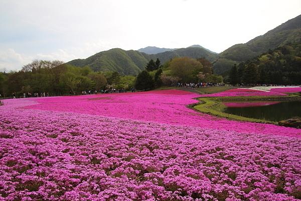17富士芝桜1-