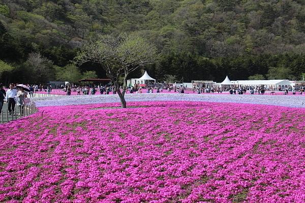17富士芝桜7