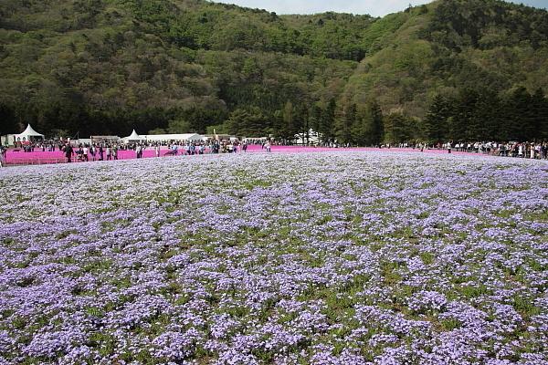 17富士芝桜9