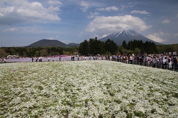 17富士芝桜12