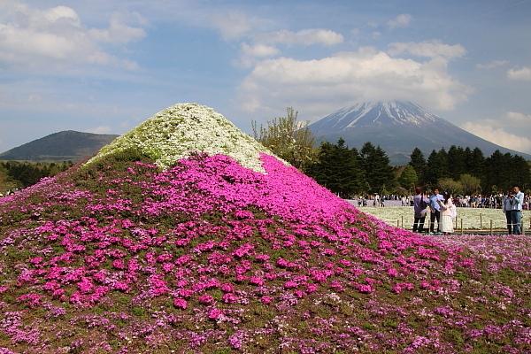 17富士芝桜13