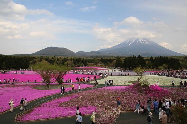 17富士芝桜14