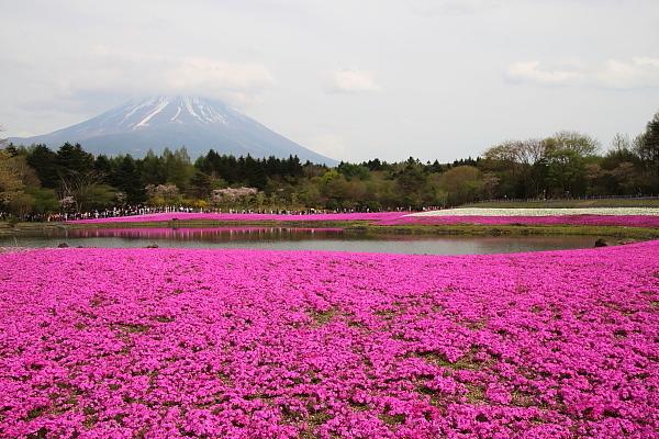 17富士芝桜16
