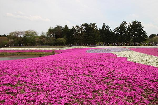 17富士芝桜17
