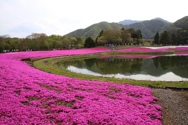17富士芝桜18