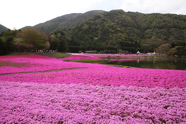 17富士芝桜19