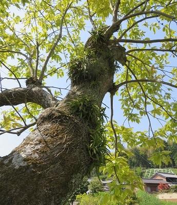 柿の木の風蘭・1