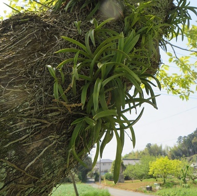 柿の木の風蘭・2