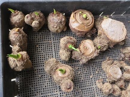 芽が出たサトイモ