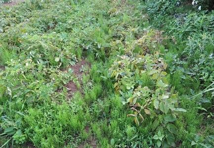 ジャガイモ収穫・1