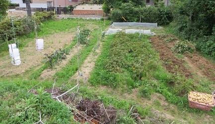 ジャガイモ収穫・2