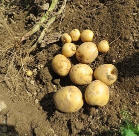 ジャガイモ収穫・3