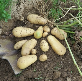 ジャガイモ収穫・4