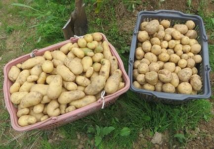 ジャガイモ収穫・5