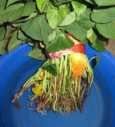 サツマイモ苗・2の2