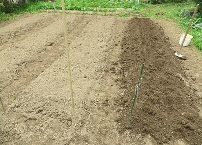 サツマイモ定植・2